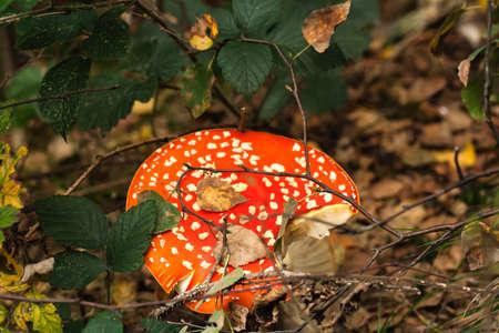 Wild amanita muscaria mushroom