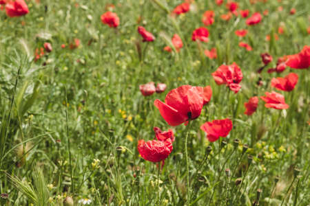 Springtime red poppy flowers Stock fotó - 155419372