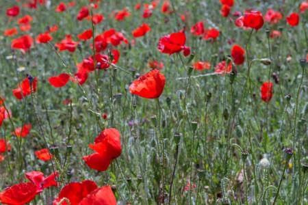 Springtime red poppy flowers