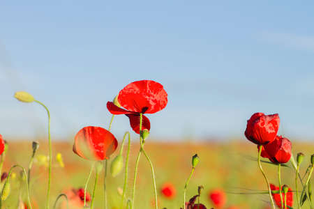 Springtime red poppy flowers Stock fotó - 155419409