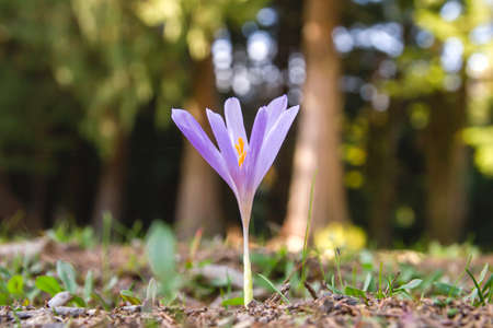 Autumn crocus purple flowers blooming Stock fotó - 155419529