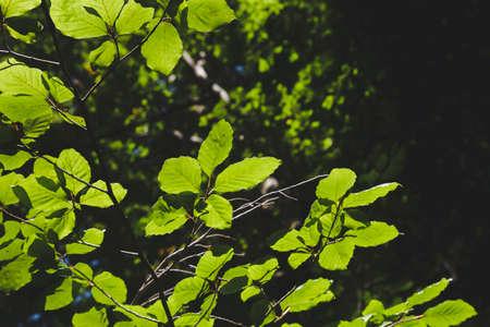Fagus sylvatica or beech tree green foliage detail Stock fotó - 155419572