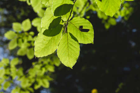 Fagus sylvatica or beech tree green foliage detail Stock fotó - 155419589