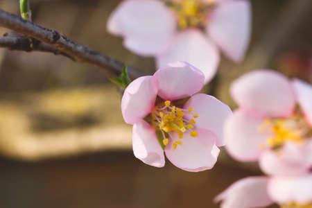 Almond tree springtime flowers Stock fotó - 155419590