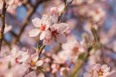 Almond tree springtime flowers