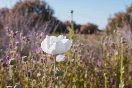 Opium poppy white flowers Stock fotó