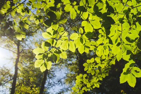 Fagus sylvatica or beech tree green foliage detail Stock fotó - 155420058