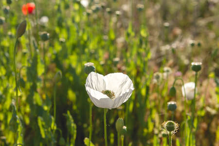 Opium poppy white flowers Stock fotó - 155420066