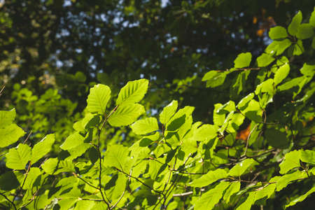 Fagus sylvatica or beech tree green foliage detail