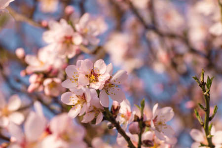 Almond tree springtime flowers Stock fotó - 155420179