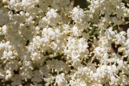 Sambucus nigra white flowers