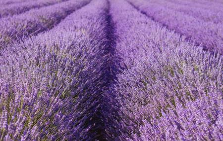 Purple lavender fields in bloom