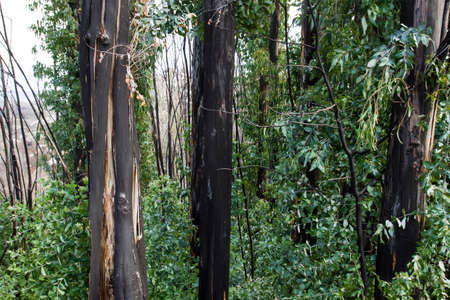 Burned eucalypt trees with green foliage