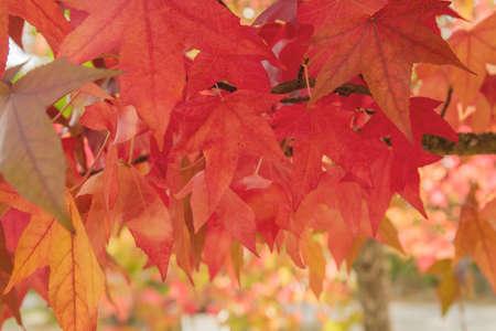 Detail of liquidambar tree red deciduous foliage in autumn