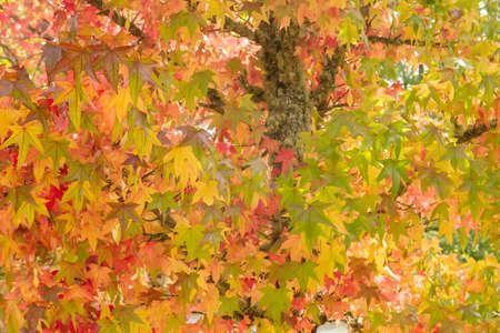Liquidambar tree with autumnal colorful foliage Stock fotó