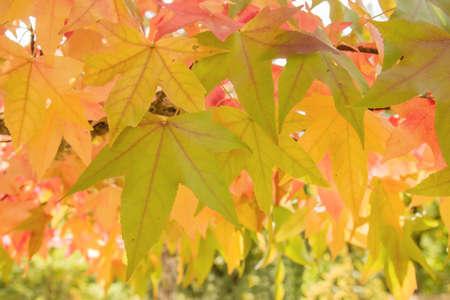 Liquidambar autumnal foliage close up