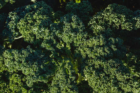 Kale or leaf cabbage plant growing in the vegetable garden