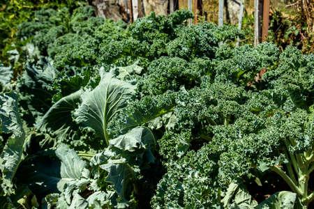 Kale or leaf cabbage plants growing in the vegetable garden Stock fotó