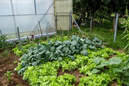 Organic food growing in the vegetable garden