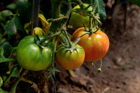 Ripening tomatoes in a green house Stock fotó