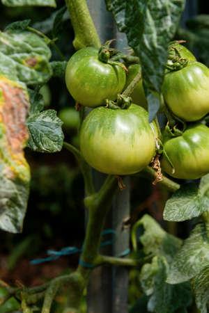 Green unripe tomatoes growing in the kitchen garden Stock fotó