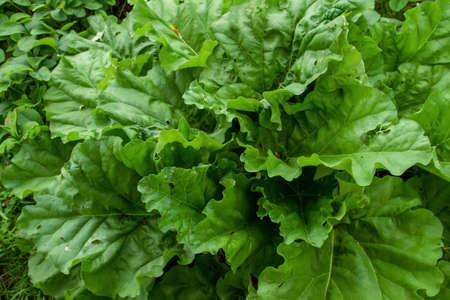 Beta vulgaris plant growing in the vegetable garden Stock fotó