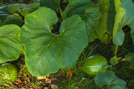 Calabaza winter squash plant with large green leaves and crops growing