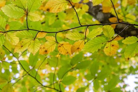 Detail of fagus sylvatica beech tree autumnal deciduous foliage