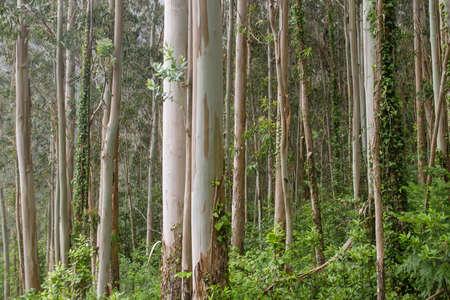 Eucalypt trees green forest landscape