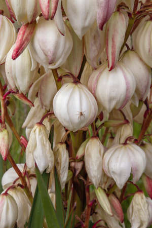 Close up of yucca gloriosa Spanish dagger white flowers