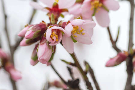 Almond tree blossoms pink flowers blooming in spring