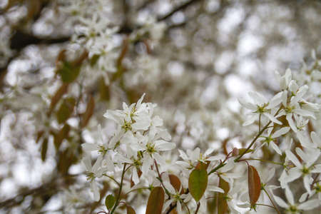 Snowy mespilus white flowers blossoming in spring