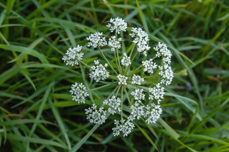 Conium maculatum or poison hemlock white flowers blooming in spring