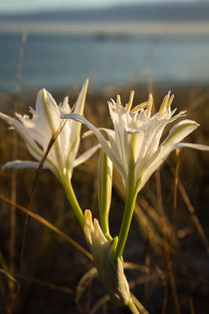 Pancratium maritimum or sea daffodil white flowers growing wild in the coastal sand dunes, a plant in risk of extinction.