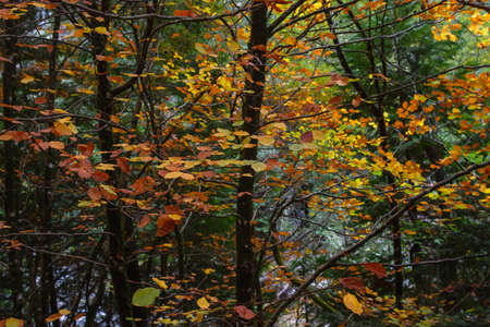 Fagus sylvatica beech tree autumnal colored foliage