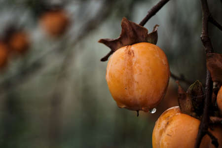 Diospyros kaki tree laden with persimmon ripe fruits