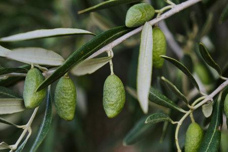 Olea europaea olive tree green immature fruits close up