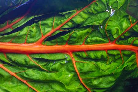 Oriole orange swiss chard leaf detail