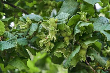 Corylus avellana or common hazel tree growing hazelnuts detail Standard-Bild