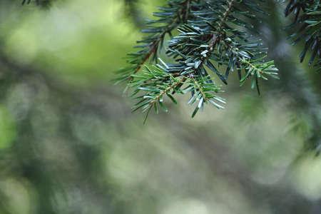 Abies alba or European silver fir evergreen coniferous tree green needle-like foliage