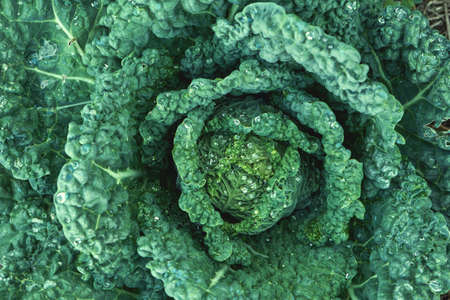 Leaf cabbage or kale plant growing in the vegetable garden