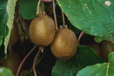 Kiwifruits growing in Actinidia deliciosa woody vine, selective focus