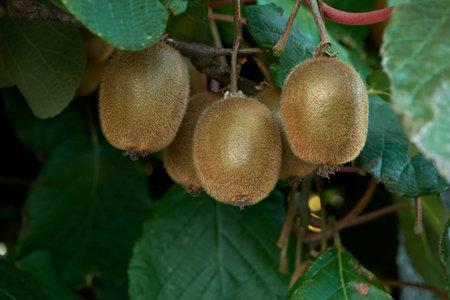 Kiwifruits growing in Actinidia deliciosa woody vine
