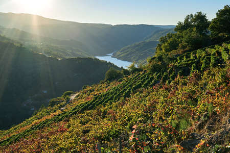 Terraced vineyards with colorful autumnal grape vines and Sil river canyon in the background, Ribeira Sacra wine region landscape in Galicia, Spain