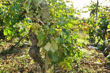 Wine making vineyard with grape vine mature fruits Standard-Bild