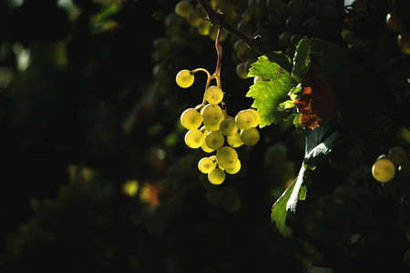 Bunch of white grape vine green fruits, backlight and dark copy space