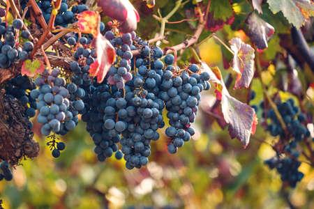 Vitis vinifera grape vine dark blue ripe fruits Standard-Bild