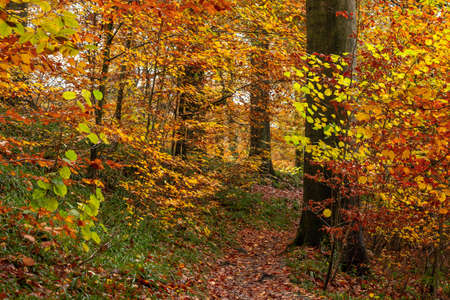 Old beech trees forest with colorful deciduous foliage in autum