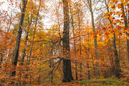 Fagus sylvatica beech tree with tanned colored autumnal foliage. Sonian Forest, Belgium