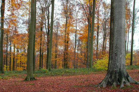 Fagus sylvatica beech trees grove with tanned colored autumnal foliage. Sonian Forest, Belgium
